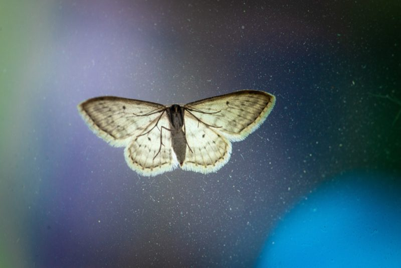 Moth by Max Kleinen